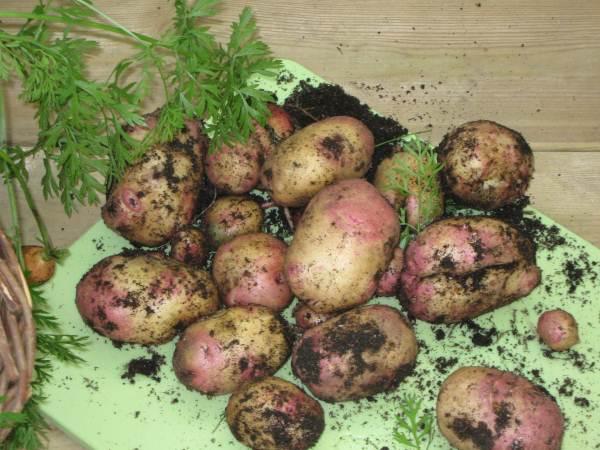 Småtrollen september 2009 - Potatisskörd